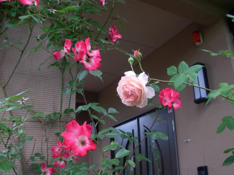 仙台市青葉区 H様邸 薔薇と宿根草の庭_4|竜門園