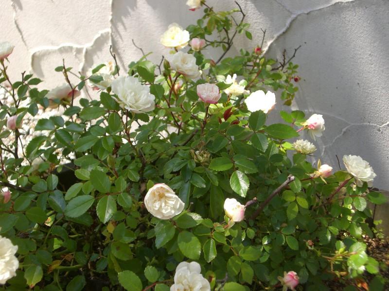ガーデン展示場G3の草花たち_1|竜門園
