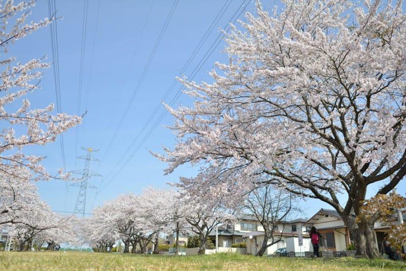 桜も見納め・・・ 竜門園