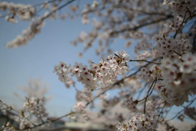 桜も見納め・・・_1 竜門園