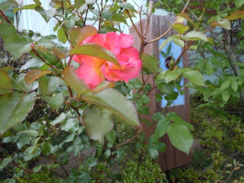 牡丹と薔薇_2|竜門園