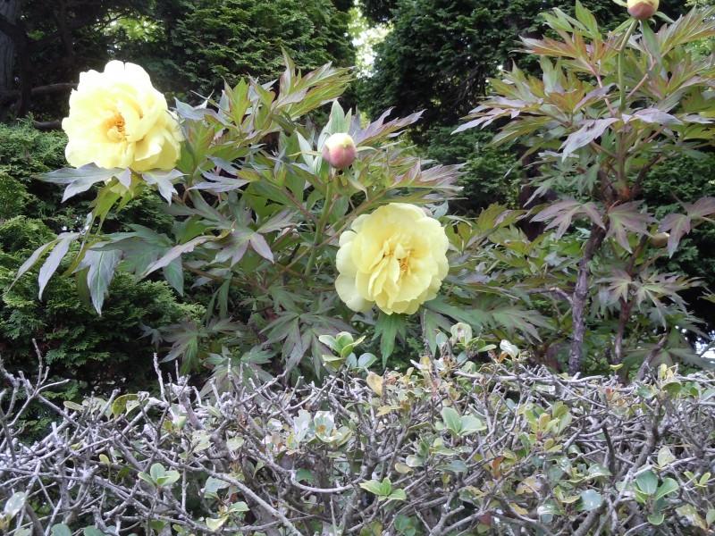牡丹と薔薇|竜門園